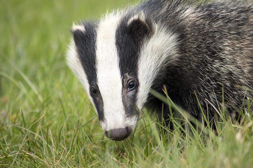 Badger, Wildlife, English, Nature, British, Environment