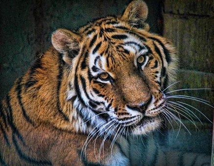 Animaux images gratuites sur pixabay - Images tigres gratuites ...