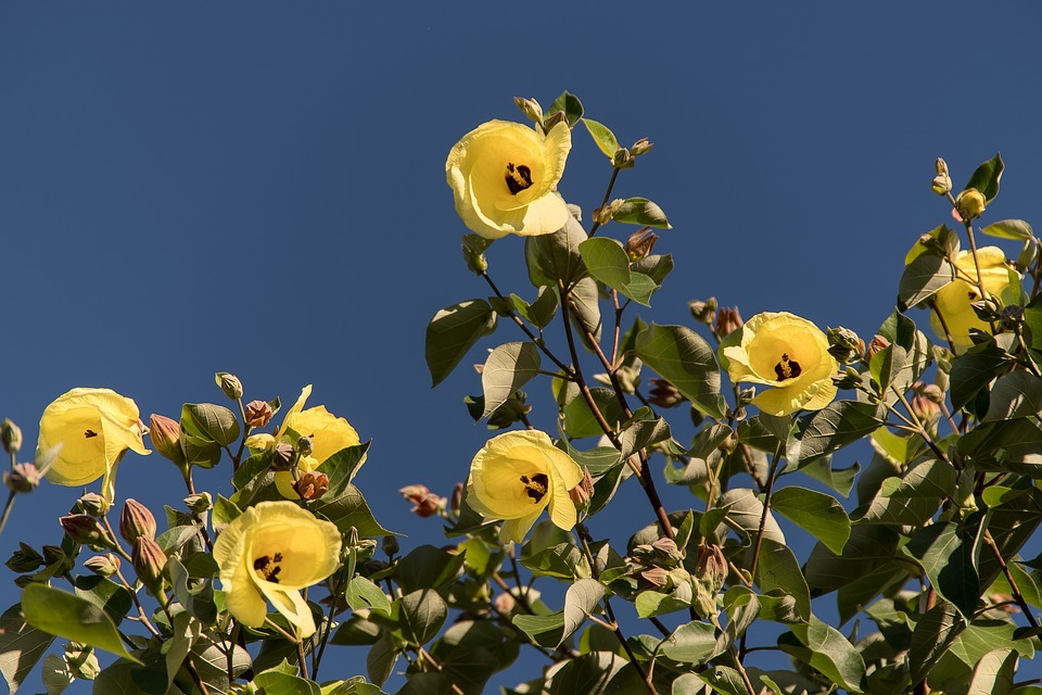 Cotton Tree Hibiscus Tiliaceus Free Photo On Pixabay