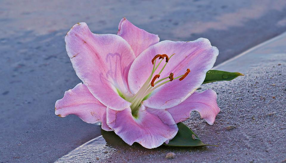 free photo lily, flower, blossom, bloom, water  free image on, Beautiful flower