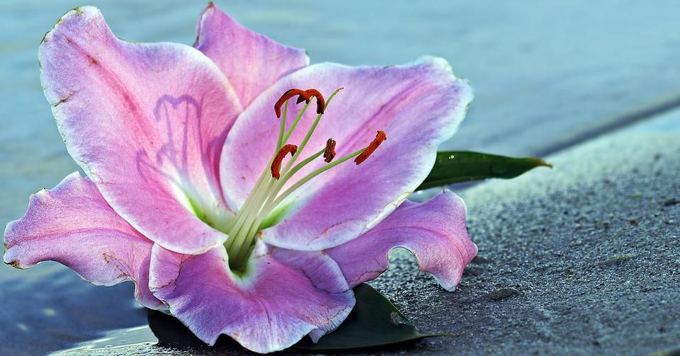 free photo lily, flower, blossom, bloom, water  free image on, Natural flower