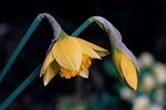 plant, daffodil, flower
