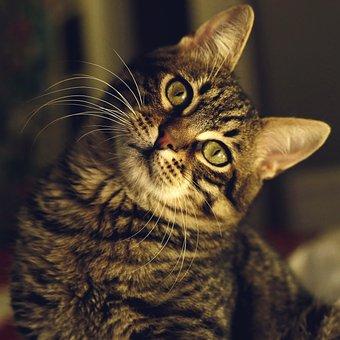 Tabby Cat, Pet, Animals, Kitty, Cat
