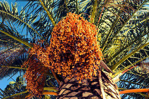 Date, Palm Tree, Nature, Tropical, Fruit