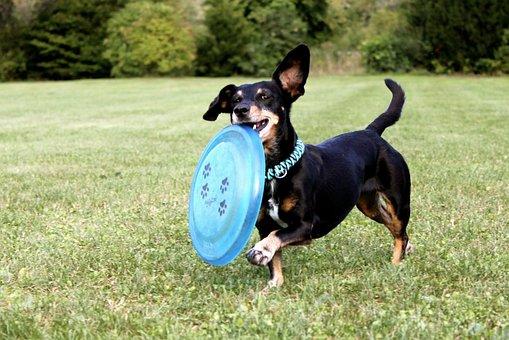 Teckel, Frisbee, Hond, Running Dog