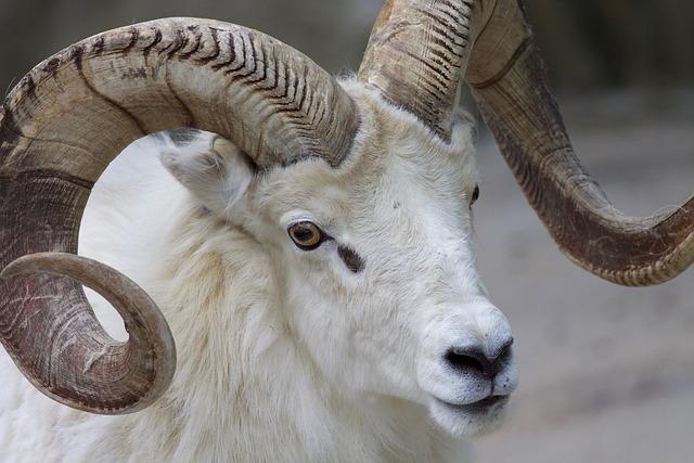 Ram Sheep Horns \u00b7 Free photo on Pixabay