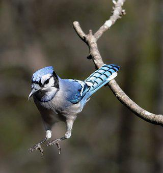 Blue Jay Images Pixabay Download Free Pictures