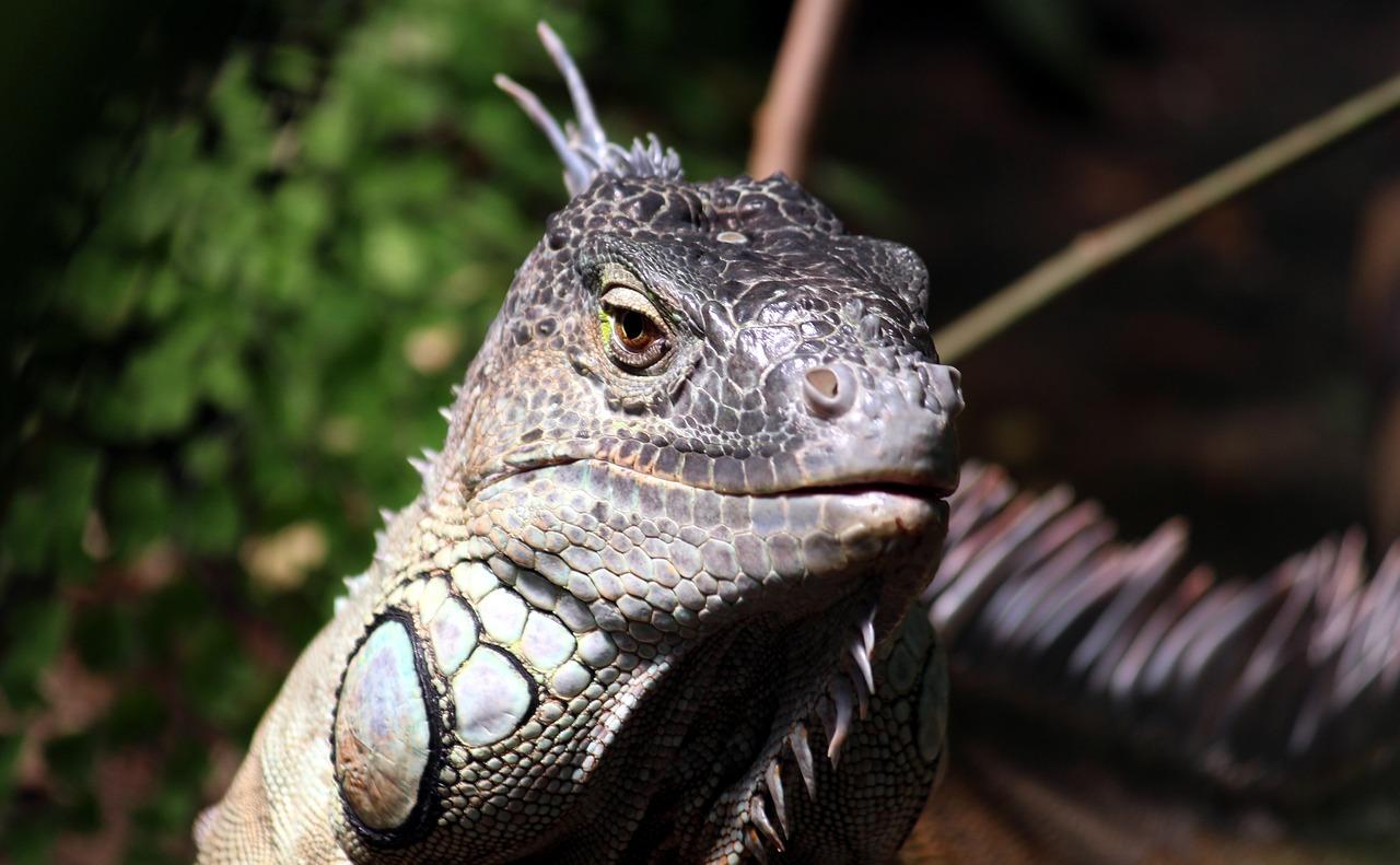 наши дракон ящерица фото они были