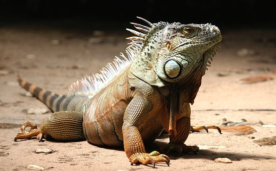 Iguana Watch Lizard Reptile Animal Dragon