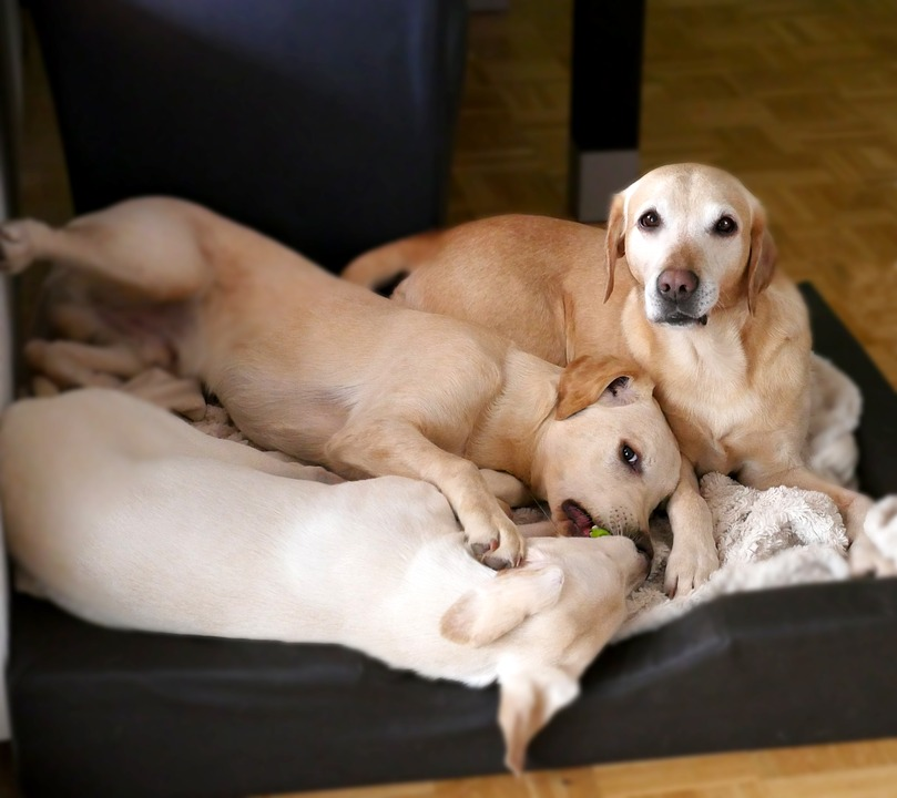 Psy, Labrador, Szczeniak, Młody Pies, Pies Gra, Pet