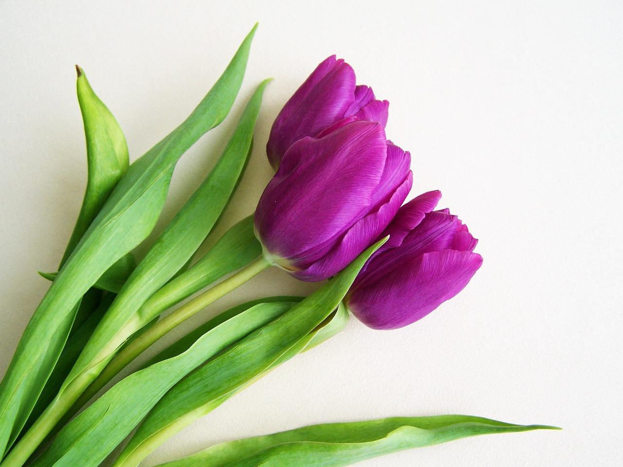 Открытки фиолетовые тюльпаны, дочке днем рождения