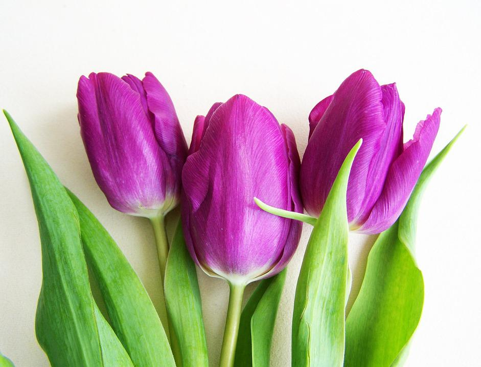 фото, стихи фиолетовые тюльпаны этих кругах