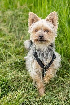 Dog, Yorkshire, Terrier, Small Dog