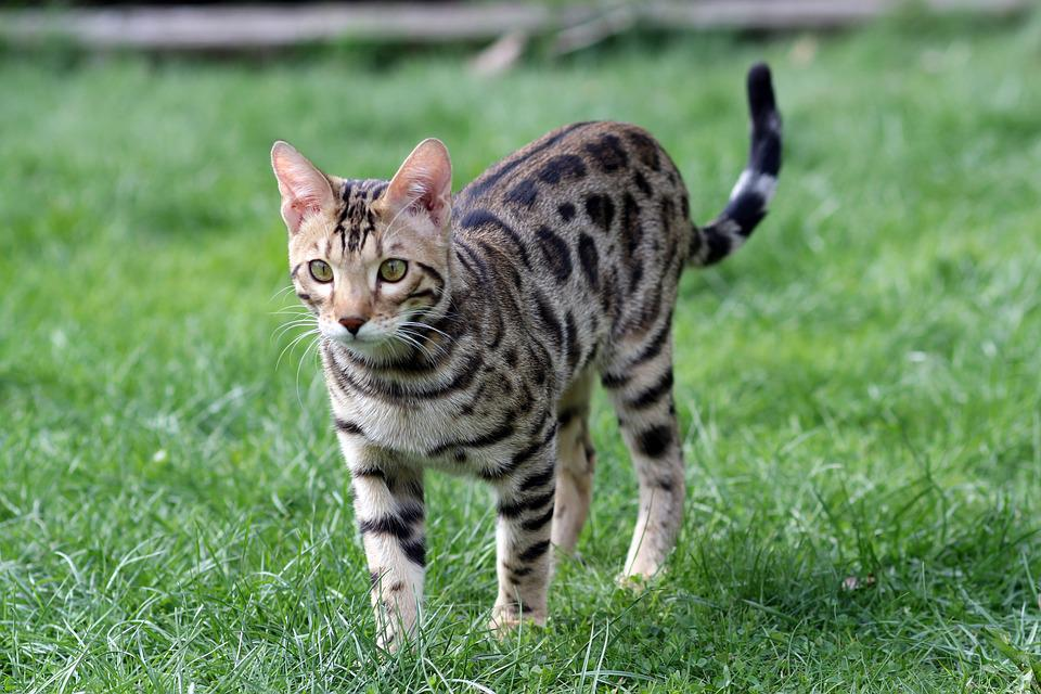 Big Spotted Domestic Cat