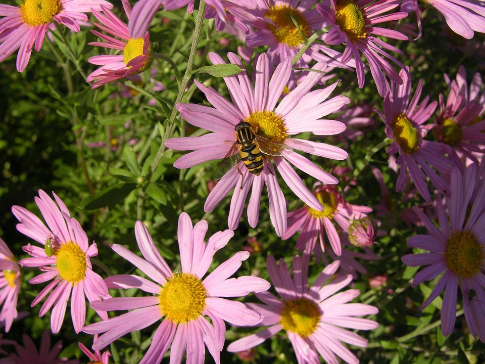 free photo pink aster flower, bee, aster  free image on pixabay, Beautiful flower