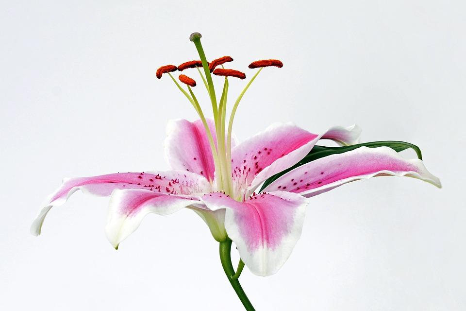 Lilie Blüte Blume · Kostenloses Foto auf Pixabay