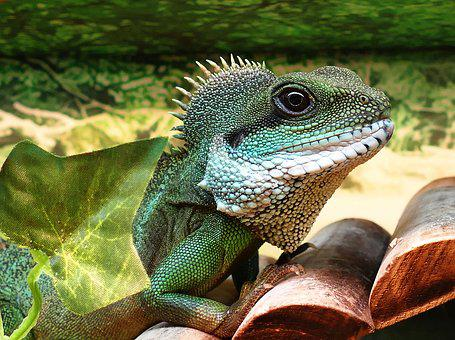 Chinese Water Dragon Male Chinese Dragon W