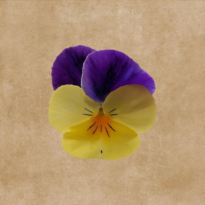 Fleur Violette Dessin Image Gratuite Sur Pixabay