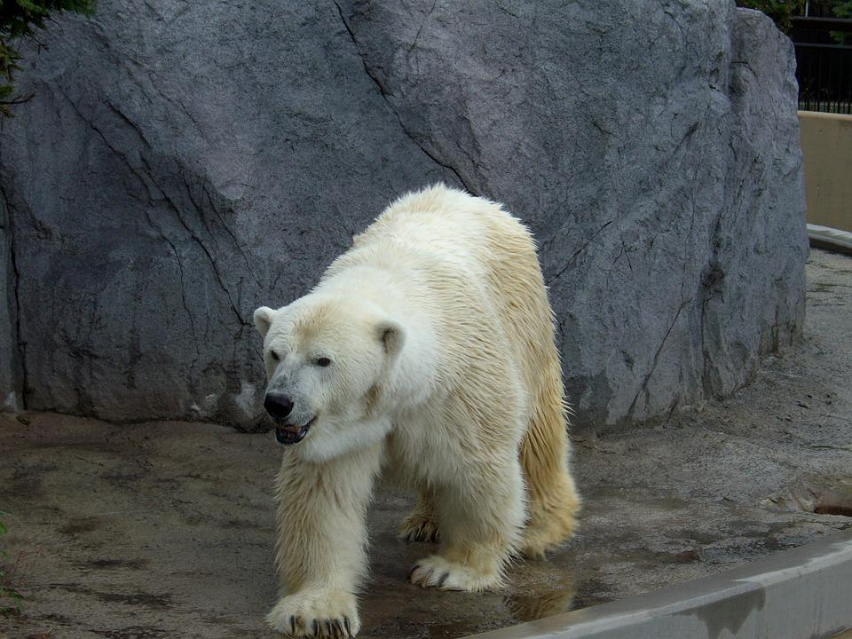 シロクマ, 動物園, 北海道, 旭山動物園