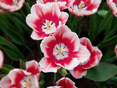 pink, tulip  free images on pixabay, Beautiful flower