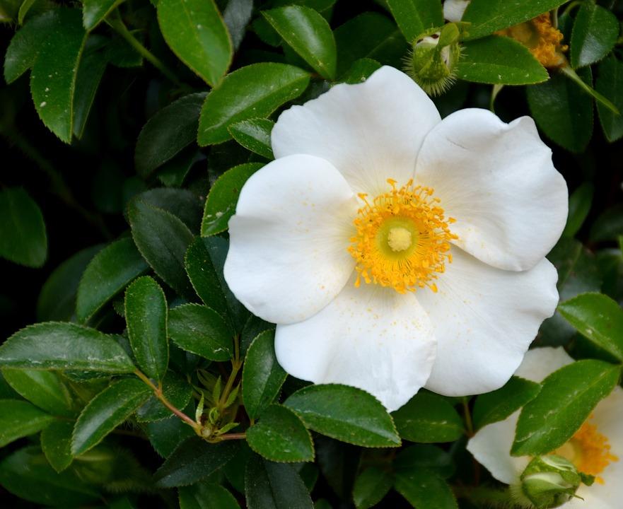 Cherokee rose white free photo on pixabay for Cherokee rose