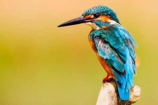 Kingfisher Bird Wildlife Macro Closeup Por