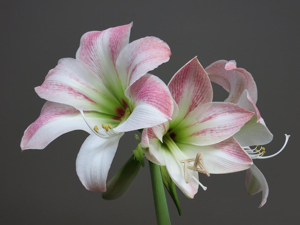 Amaryllis Weiss Rosa Kostenloses Foto Auf Pixabay