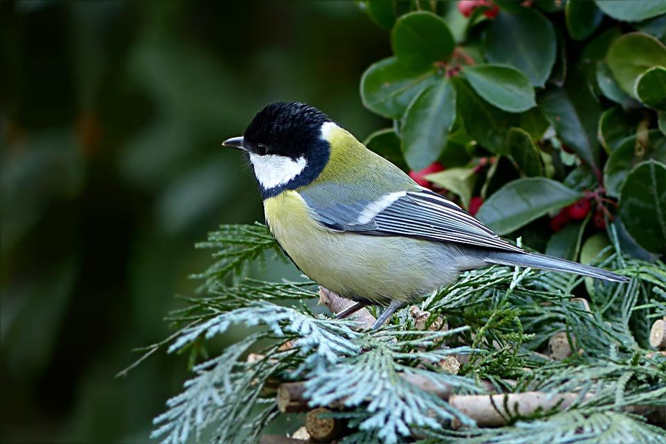 鸟,鸣鸟,花园,parus主要,孤岛,觅食山雀皮衣猎鹰图片