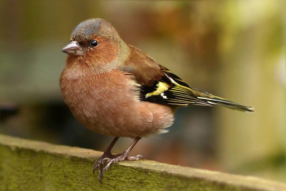 Bird, Sångfågel, Bofink, Fringilla Caelebs, Hane