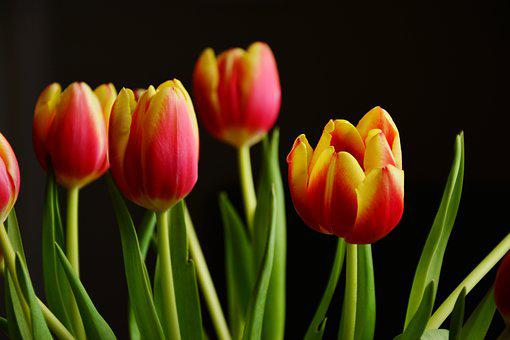 Tulip bouquet images pixabay download free pictures tulips spring flowers blossom bloom mightylinksfo