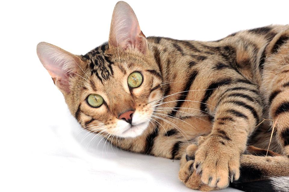 chat bengal bengali animal de compagnie chaton - Chaton Bengal Gratuit