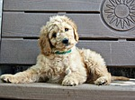 puppy, bench, sitting