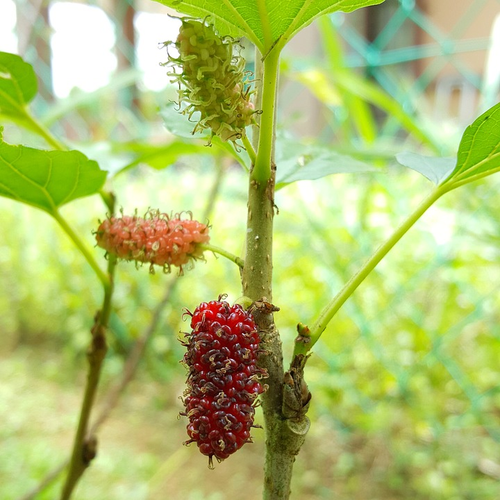 mulberry food  Mulberry Images - Pixabay - Download Free Pictures