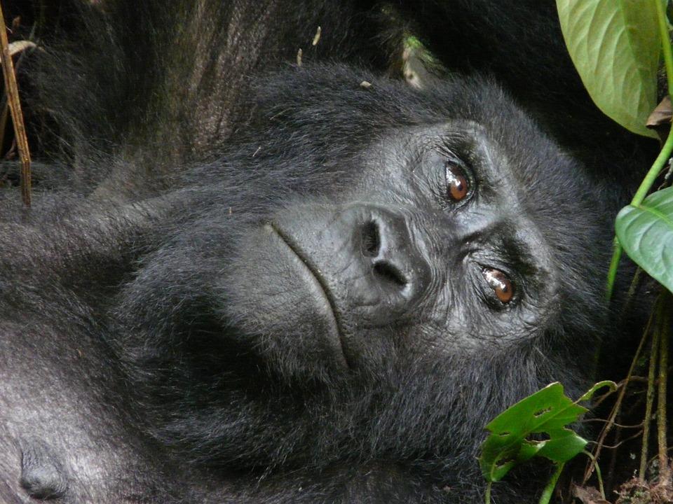 Montanha, Gorila, Beringei, Uganda, Bwindi, Nacional