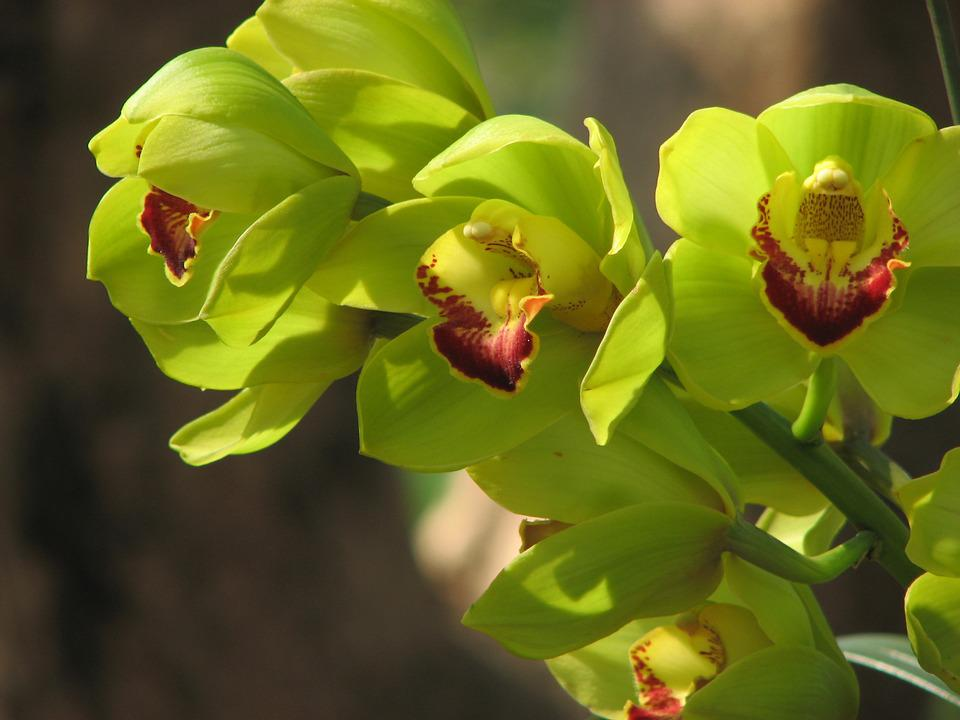 free photo orchid, flowers, green  free image on pixabay, Natural flower