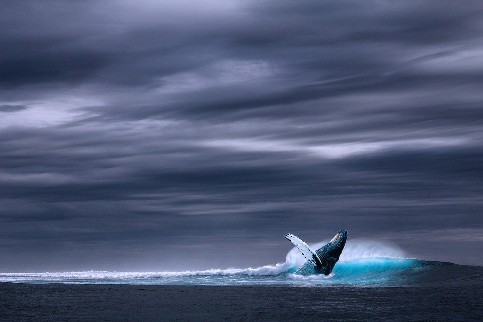 Ocean, Blue Whale, Sea, Wave, Whale, Rainy, Wild