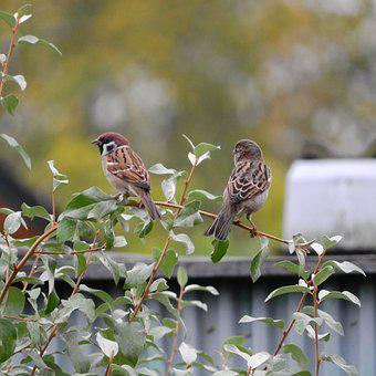 Sparrow Passer Montanus Eurasian Tree Spar