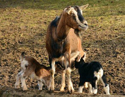 Goats Kid Young Goats Domestic Goat Lambs