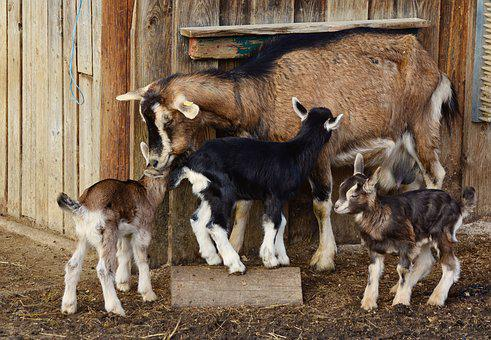 Goats, Kid, Young Goats, Domestic Goat