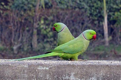 Vogel, Parkiet, Groene, Tropische