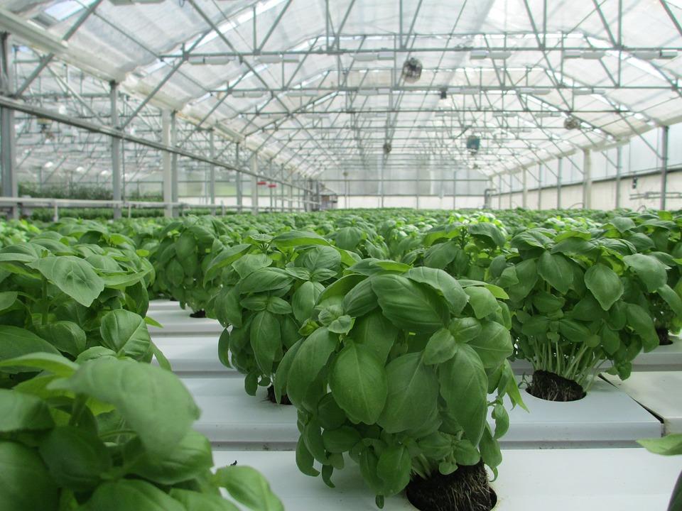 Basil, Greenhouse, Plant, Food, Vegetable, Garden