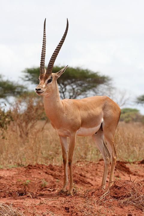 gazelle kenya safari afrique