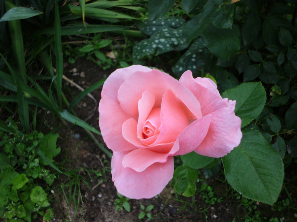 Rosa Hermosas Flores Rosas De Foto Gratis En Pixabay