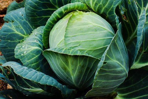 Cabbage, Vegetable, Plant, Food, Healthy