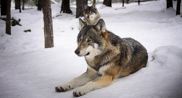 Wolves Snow Predators Wolf Winter Zoo Meat
