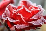 rose, hoary, wintery