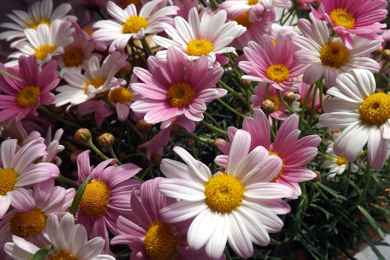 Bunga Aster Warna Merah Muda Foto Gratis Di Pixabay