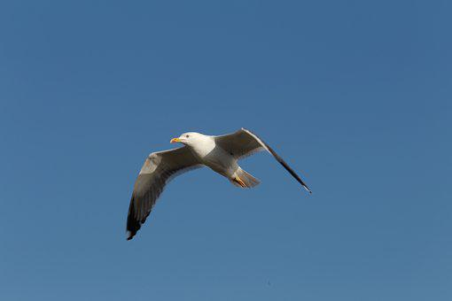 Flying Seagull, Sky, Bird, Bird Flight