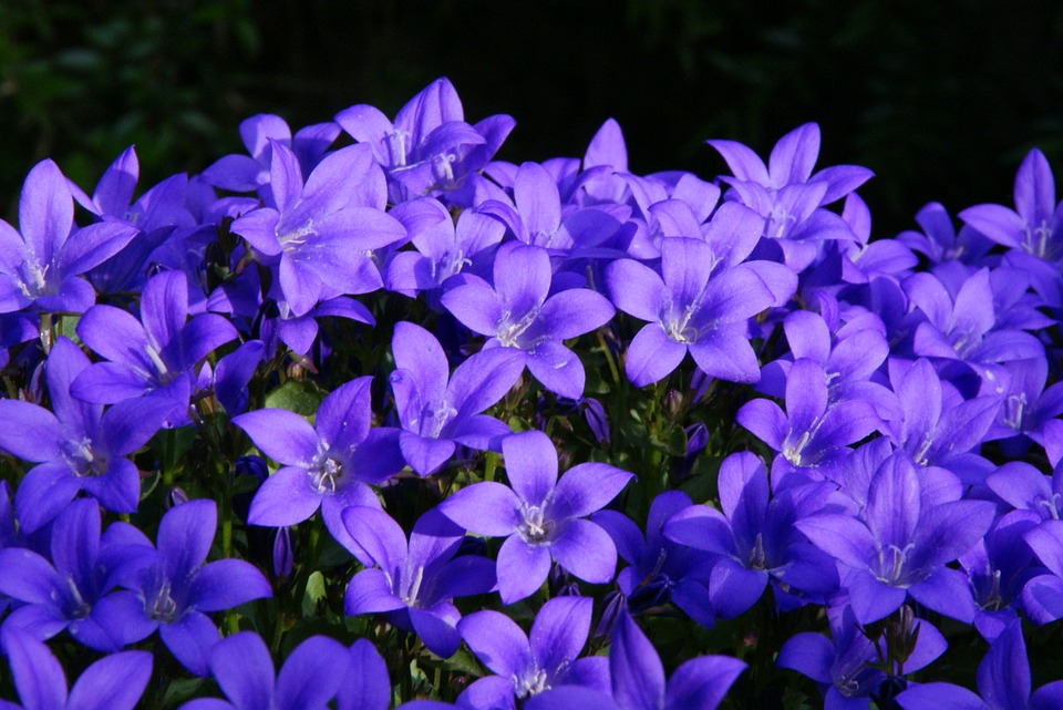 Bellflower Purple Summer Flower 183 Free Photo On Pixabay
