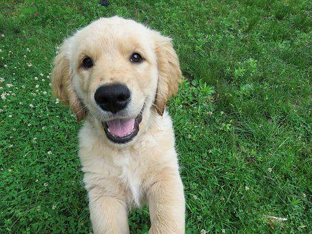 Golden Retriever, Puppy, Happy, Jumping